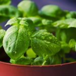 25 Uses of Basil | Benefits of Its Leaves, Roots & Seeds