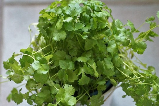 coriander essential oil in leaves and seeds